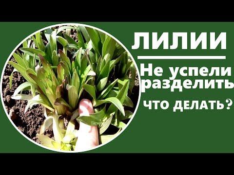 Уход за лилиями весной . Что делать, если вы не успели рассадить лилии вовремя