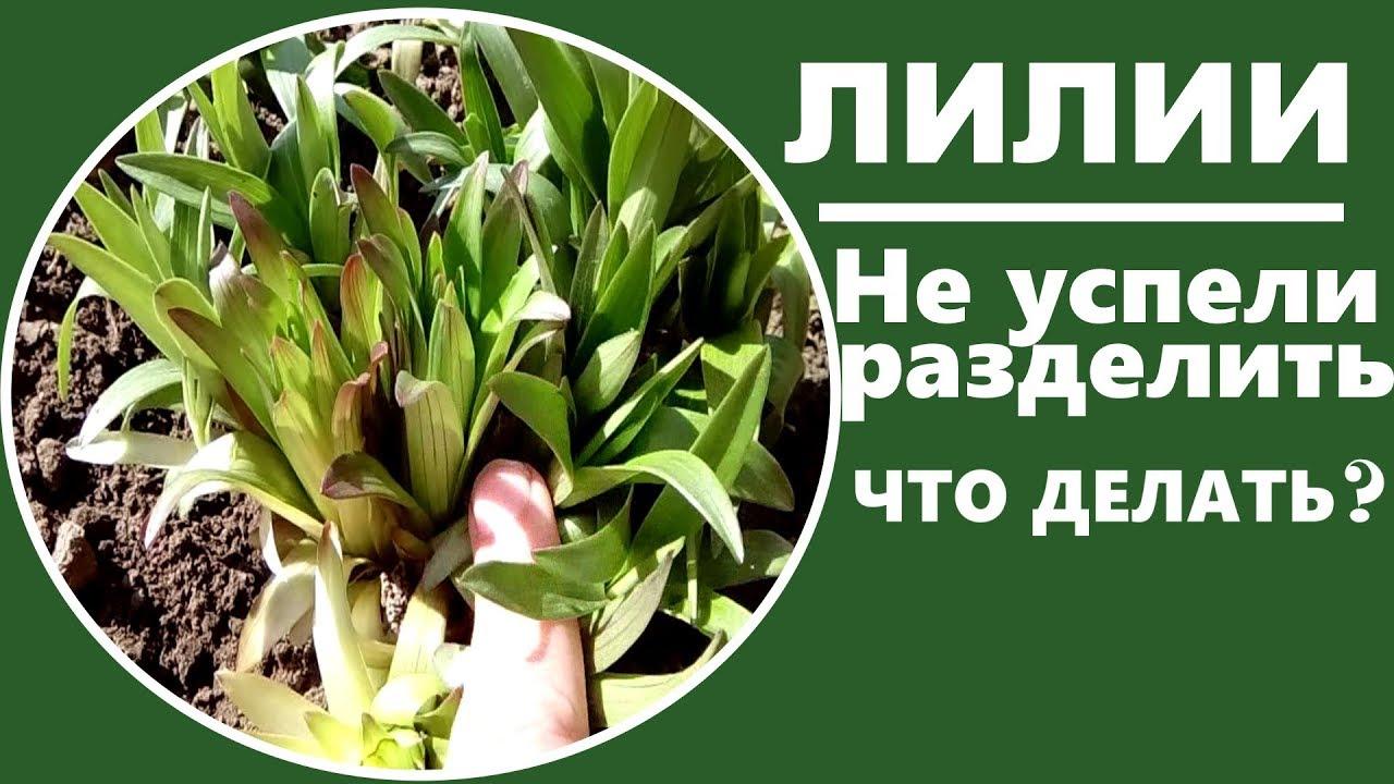 Faut Il Couper Les Lys Après Floraison fleurs de lys (photo) - plantation et soins, reproduction et