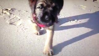 Border Terriers  Run The Beach