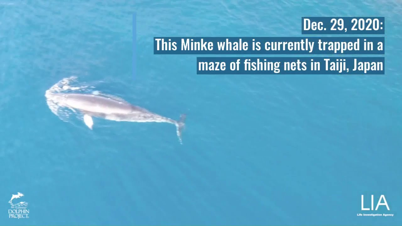 Au Japon, une baleine coincée dans des filets de pêche depuis douze jours