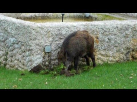 A Avon près de Fontainebleau, des sangliers au pied des résidences