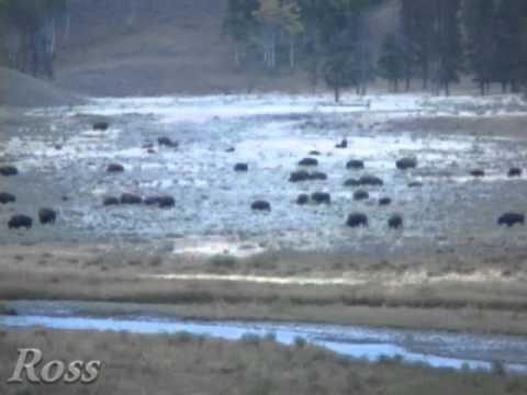 free roaming buffalo of yellowstone national park