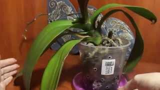 Орхидея растит новый листик, а нижний желтеет.(, 2014-11-18T12:43:24.000Z)