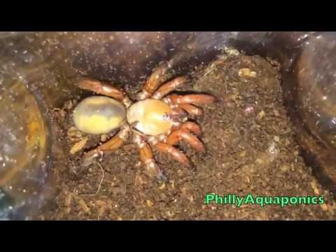 Red Trapdoor Spider Feeding and Rehousing