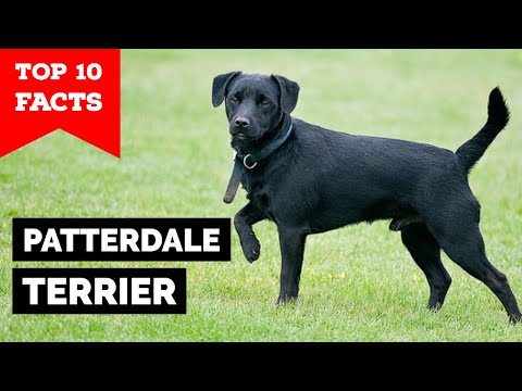 Patterdale Terrier  Top 10 Facts