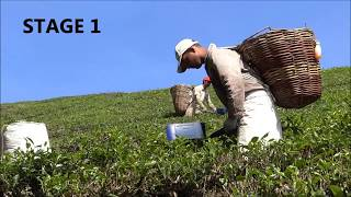 Tea production process