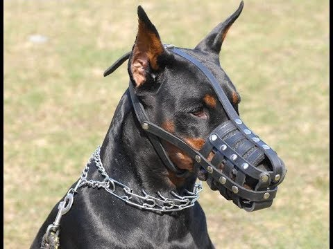 The Power of DOBERMAN, he was created for this - pitbull dog training
