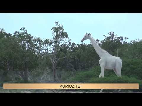 Gjirafat E Bardha Për Herë Të Parë Në Histori - KURIOZITET ZICO TV