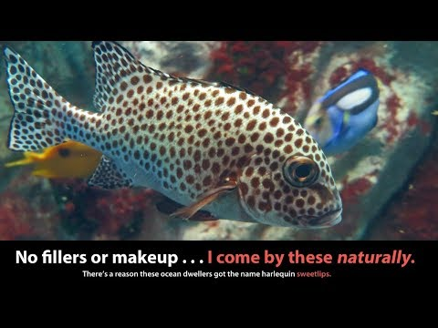 5 Things I Learned about the Harlequin Sweetlips