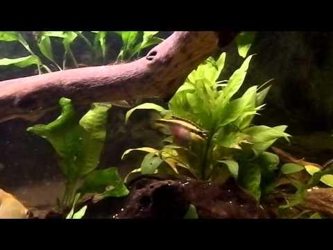 Fish Tank Talk - Kribensis