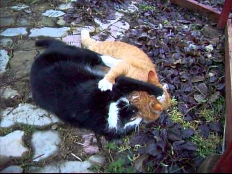 Супер драка котов!!!
