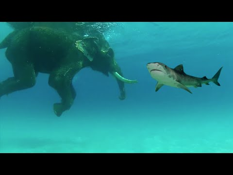SHARK ENCOUNTERS ELEPHANT