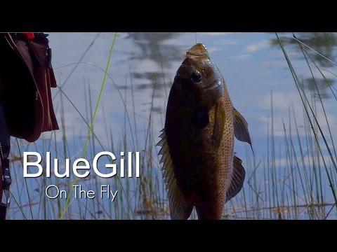 FlyFishing For Big Bluegills
