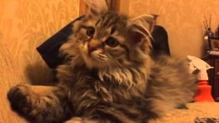 Сибирская кошка Буся.