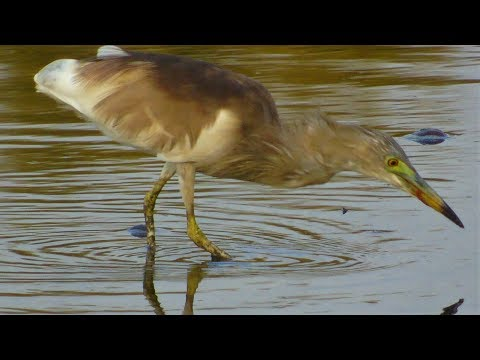 Indian Pond Heron & Moorhen Hunting For Fish