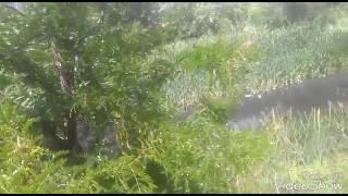 Akasya bitkisinin çayının faydaları yararları akasya ağacı çiçekleri faydaları yararları nelerdir