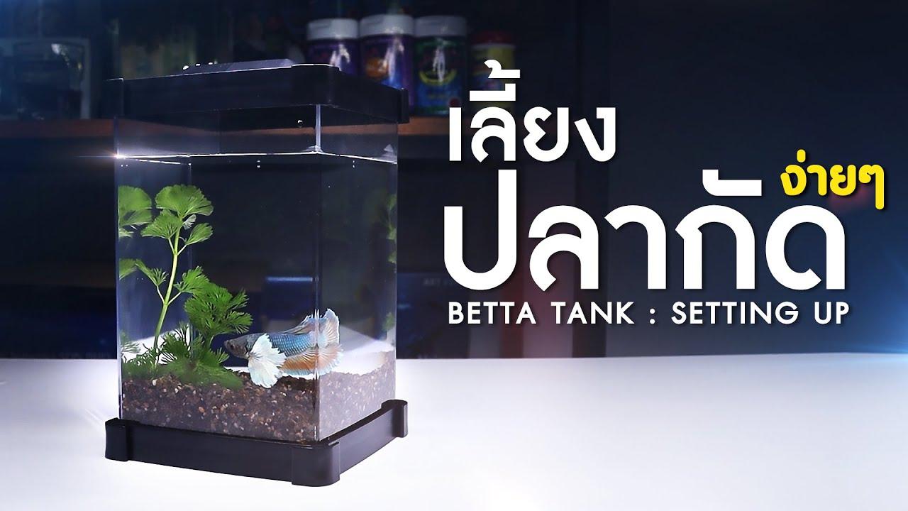 วิธีการเลี้ยงปลากัดง่ายๆ ทำได้ที่บ้าน (มือใหม่ก็ทำได้)