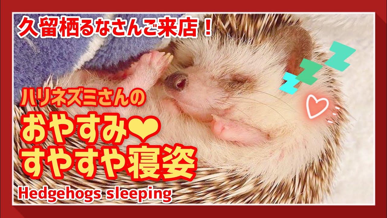 【ハリネズミ】すやすやハリネズミさんの寝顔がかわいい!久留栖るなさんご来店♪