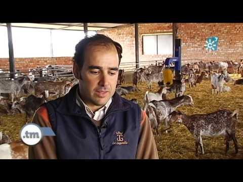 Cómo vivir de la ganadería con la cría de cabra Florida