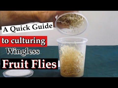 Culturing Wingless Fruit Flies (Drosophila melanogaster) as Live Food: A Quick Guide