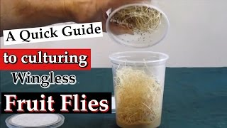 A Quick Guide to Culturing Wingless Fruit Flies as Live Food