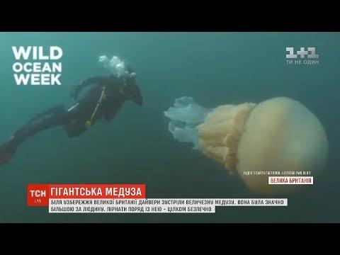 ТСН: Біля узбережжя Великої Британії дайвери зустріли величезну медузу