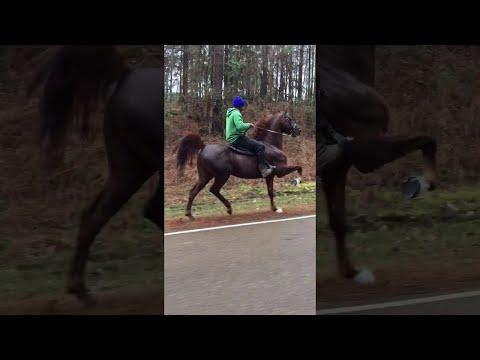 Chisum the Show Horse     ViralHog
