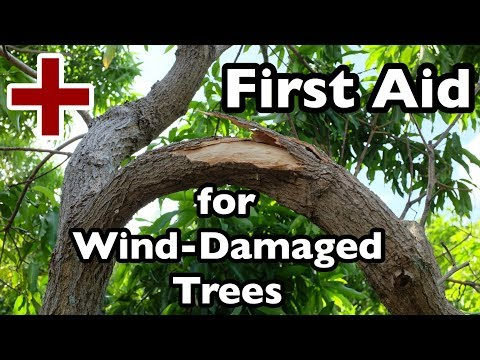 First Aid for Wind-Damaged Trees
