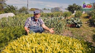 Очень урожайный салат Дубачек