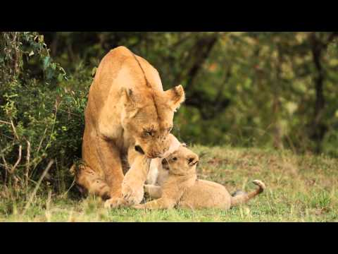 Lion cubs playing and annoying their mother