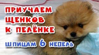 🐾 Как ПРИУЧИТЬ щенка К ПЕЛЕНКЕ. Шпицам 6 недель
