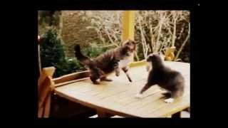 Злые коты  Приколы 2015  Ярые драки котов и кошек!