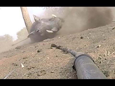 Big Wart Hog gets a spear in the back then goes Ballistic!!!