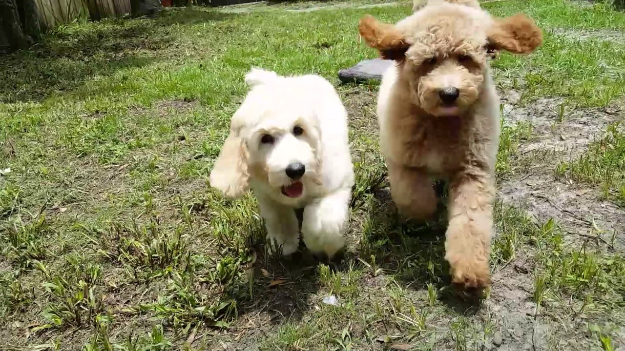 F2 Golden Doodle Ready At Just Puppies Orlando Youtube