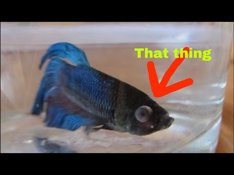 What I do for my betta fish Popeye!!