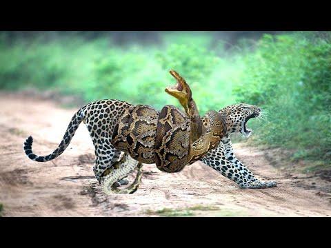 Вопрос: Есть ли у ягуаров естественные враги?
