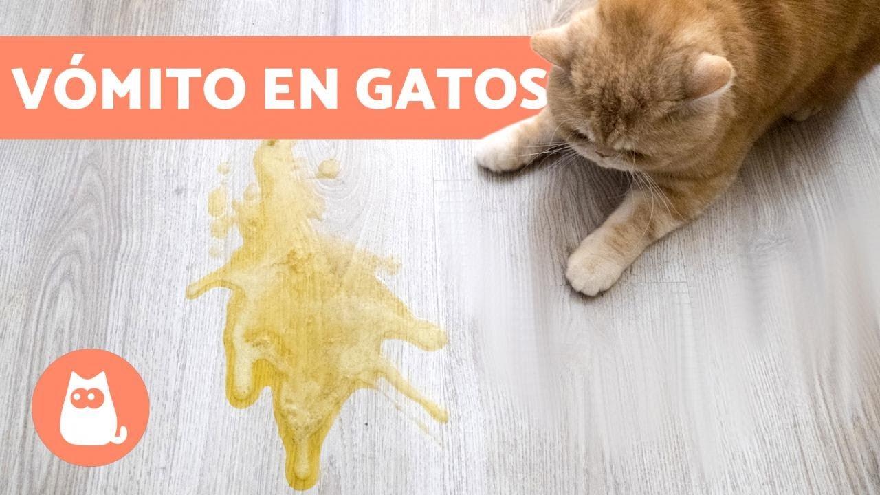 gato vomita pienso