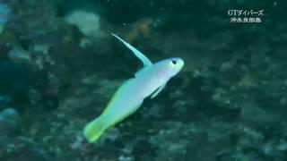 ヘルフリッチとハタタテハゼの交雑種 【helfrichi firefish hybrid】