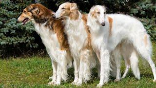 10 hechos ELEGANTES sobre el perro Borzoi (perro lobo ruso)