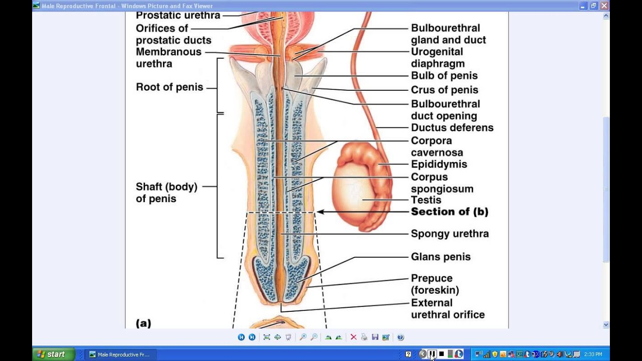 Lab - Male Reproductive Anatomy - Part 1g - YouTube