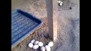 itik telur