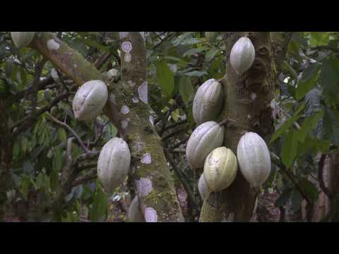 Economie cacaoyère : La Côte d'Ivoire plaide pour une meilleure répartition des ressources