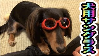 犬にサングラス掛けてみたらジワジワ来た。