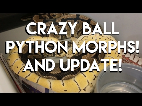 Crazy ball python morphs! And update!