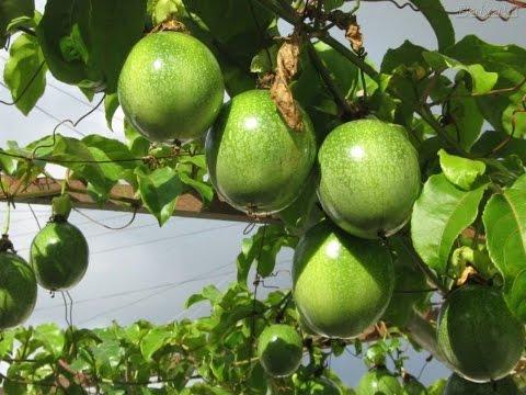 Mondini Plantas: Como cultivar maracujá