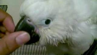 BABY 13 weeks old sulphar crestead cockatoo very cute.mp4