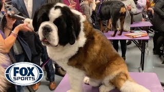 Watch the dogs of the Westminster Kennel Club Dog Show get groomed backstage | FOX SPORTS