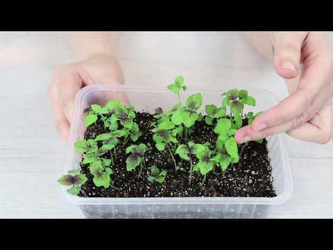 Как посадить БАЗИЛИК на рассаду