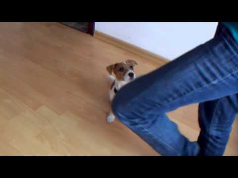 Mila- smart Jack Russell Terrier- tricks