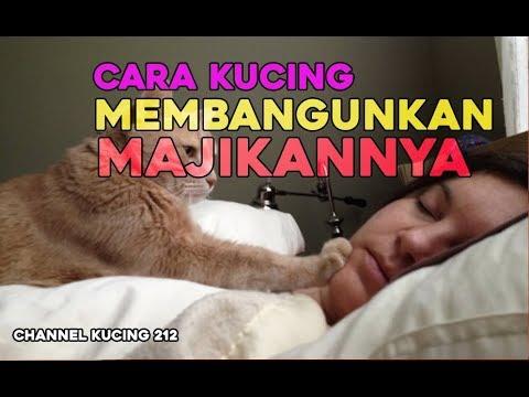 Begini Cara Kucing Membangunkan  Majikannya Yang Masih Tidur      Lucu Bangeet